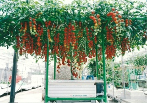 トマト水気耕栽培